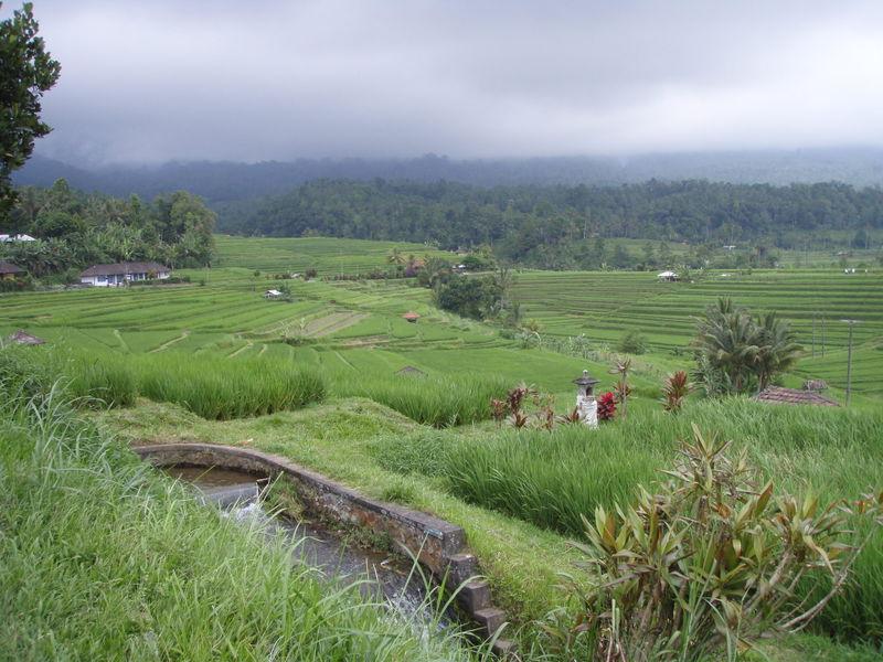 Rice patty3