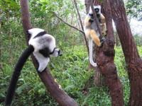 2_lemurs