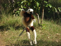 Jumping_lemur