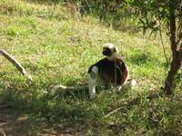 Lemur_relaxing_2