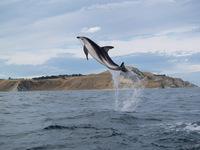 Dolphin_jump1_2