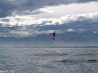 Dolphin_jump4_1