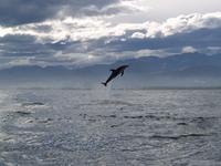 Dolphin_jump5_1