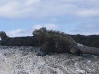 Giant_sea_iguana